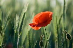 Eine rote Mohnblumenahaufnahme unter Getreide Stockfoto