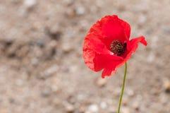 Eine rote Mohnblumenblume des Frühlinges Lizenzfreies Stockfoto