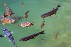 Eine rote ohrige Schieberschildkröte und einige Forellen stockfotos
