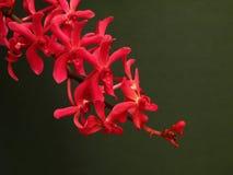 Eine rote Orchidee Stockfotos