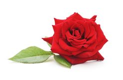 Eine rote Rose Lizenzfreies Stockfoto