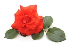 Eine rote Rose Lizenzfreie Stockfotografie