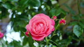 Eine rote Rose dort ist eine rote Rose und ein grüner Hintergrund Stockbild