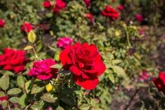 Eine rote Rose im Garten an einem sonnigen Tag stockfoto