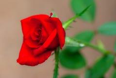 Eine rote Rose mit natürlichen Tautropfen Lizenzfreies Stockfoto