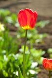 Eine rote Tulpe stockbilder