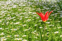 Eine rote Tulpe auf dem Gänseblümchengebiet lizenzfreie stockbilder