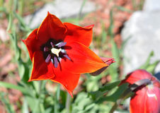 Eine rote Tulpe, die den Sun an einem warmen Frühlingstag begrüßt Stockfoto