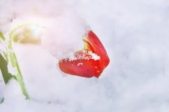 Eine rote Tulpe verbog unter das Gewicht des Schnees - natürliche Abweichung Stockfotos