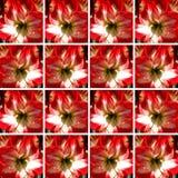 Eine rote und weiße Amaryllis-Blume innerhalb der quadratischen Formen Stockbild