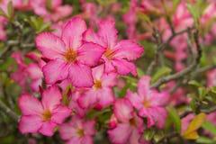Eine rote Wüstenrose (Adenium), Wüste Rose Red Flower Stockfotografie