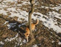 Eine Rotkatze der getigerten Katze; Polen Stockbilder
