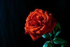 Eine Rotrose auf einem schwarzen Hintergrund Stockfotografie