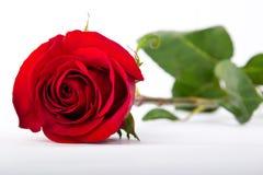 Eine Rotrose auf einem Weißbuch Lizenzfreies Stockfoto