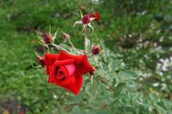 Eine Rotrose, viele Knospen, grüner Hintergrund Stockfoto