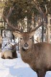 Eine Rotwildstellung im Winterschnee in Kanada stockbilder