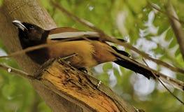 Eine Rufous Baumtorte, die in den Bäumen spielt stockbild
