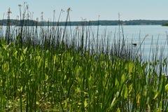 Eine ruhige Ansicht eines Einlasses des Potomacs durch grüne Schilfe Stockbilder