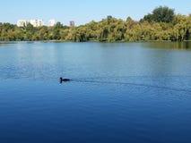 Eine süße Ente, die im a-See schwimmt lizenzfreies stockfoto