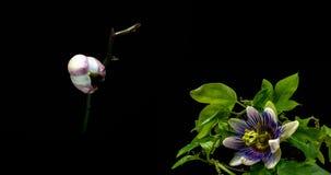 Eine Sammlung blühende Passionsblume und Orchideen, eine Collage von zwei timelaps stock video footage
