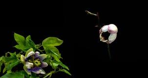 Eine Sammlung bl?hende Passionsblume und Orchideen, eine Collage von zwei timelaps stock footage