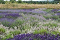 Eine Sammlung Lavendelanlagen Lizenzfreie Stockfotos