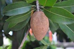 Eine Sapotillbaumfrucht auf dem Baum Stockfotografie