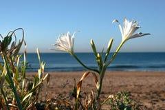 Eine schöne Anlage mit weißen Blumen verziert den Strand von Barcelona stockfoto