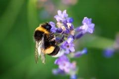 Eine schöne Biene, die Blütenstaub von der Lavendelblüte sammelt Stockfotos