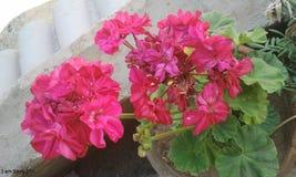 Eine schöne Blume im Balkon Lizenzfreies Stockfoto