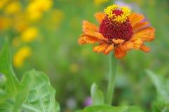 Eine schöne geblühte orange Zinniablume Stockfotografie