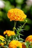 Eine schöne gelbe Blume Lizenzfreie Stockbilder