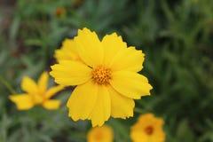 Eine schöne gelbe Blume mit den gezackten Blumenblättern gefällt dem Auge Lizenzfreie Stockfotos