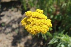 Eine schöne gelbe Blume wächst auf dem Blumenbeet Stockfotos
