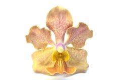Eine schöne gelbe Orchidee Lizenzfreies Stockfoto