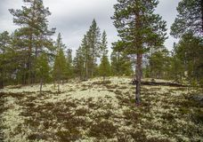 Eine schöne Herbstlandschaft eines zentralen norwegischen Waldes Lizenzfreies Stockfoto