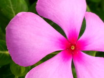 Eine schöne indische Blume stockfotografie