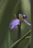 Eine schöne Iris lizenzfreies stockbild