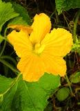 Eine schöne Kürbisblume mit Blättern und Adern Stockfoto