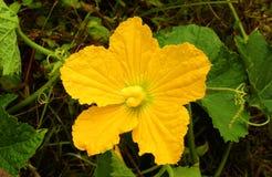 Eine schöne Kürbisblume mit Blättern und Adern Stockfotos