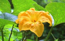 Eine schöne Kürbisblume mit Blättern und Adern Lizenzfreie Stockfotografie