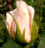 Eine schöne Knospe ist nicht blühende Rosen stockfotografie