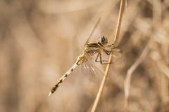 Eine schöne Libelle Stockfotos