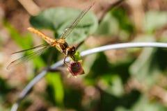 Eine schöne Libelle mit seiner Augenfotorezeptor- und -nasenzunahme Lizenzfreie Stockfotografie