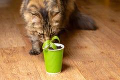 Eine schöne Maine Coon-Katze schnüffelt eine Blume in einem grünen Papierglas lizenzfreie stockbilder