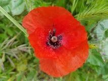 Eine schöne Mohnblume lizenzfreie stockbilder