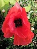 Eine schöne Mohnblume auf einem Gebiet lizenzfreie stockfotos