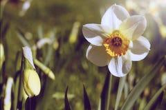 Eine schöne Narzisse Ein schöner großer Frühling lizenzfreie stockfotografie