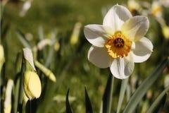 Eine schöne Narzisse Ein schöner großer Frühling Stockfotos
