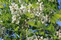 Eine schöne Niederlassung der Akazie wird mit weißen Blumen umfasst Lizenzfreies Stockfoto
